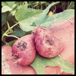 home grown sweet potatoes